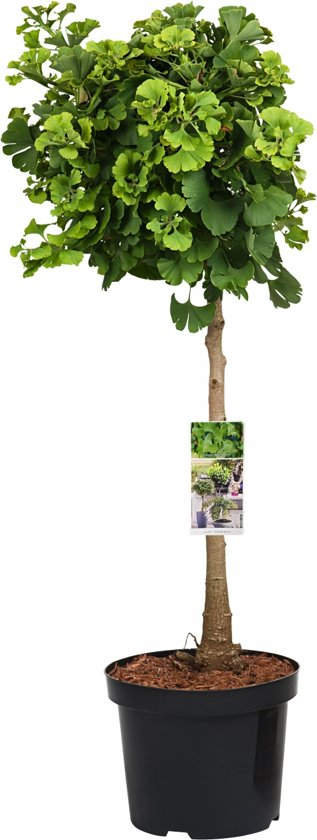 Japanse notenboom op stam - Ginkgo Biloba Mariken - 85 cm