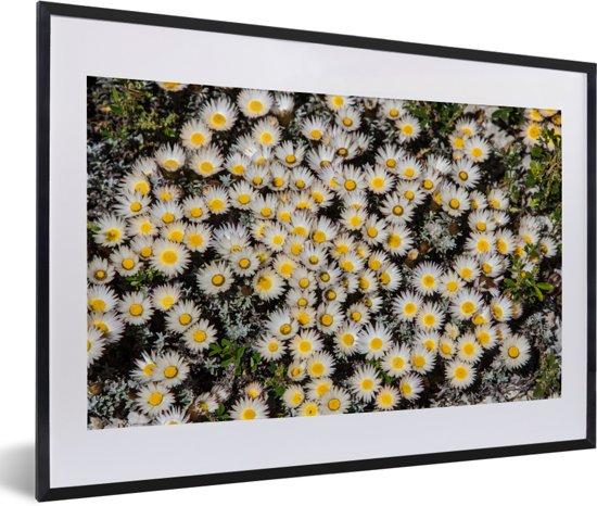 Foto in lijst - Veel ijskruid dat naast elkaar groeit fotolijst zwart met witte passe-partout 60x40 cm - Poster in lijst (Wanddecoratie woonkamer / slaapkamer)