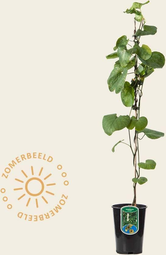 Aristolochia durior (macrophylla)