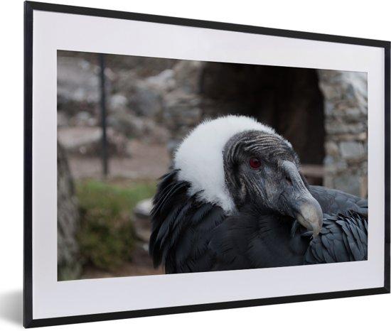 Foto in lijst - Een portret van een Andescondor fotolijst zwart met witte passe-partout 60x40 cm - Poster in lijst (Wanddecoratie woonkamer / slaapkamer)