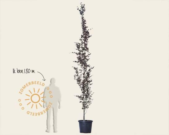 Fagus sylvatica 'Dawyck Purple' 250/300 - beveerd