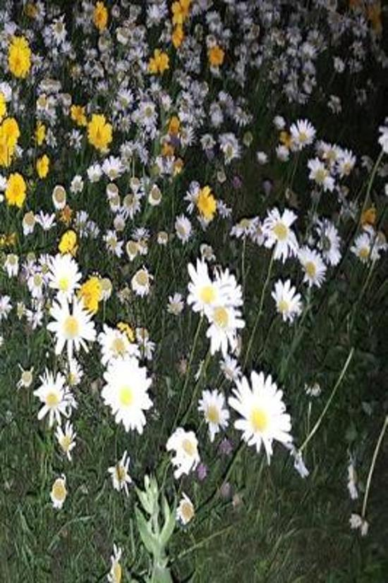 Floral Journal Daisy Field Night
