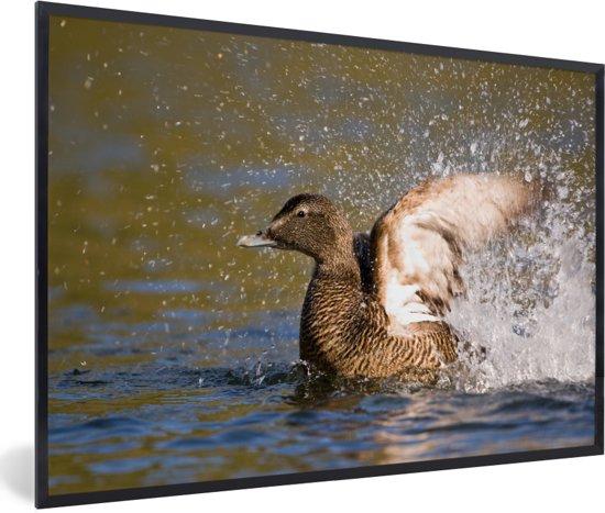 Foto in lijst - De eidereend klapt met zijn vleugels in het water fotolijst zwart 60x40 cm - Poster in lijst (Wanddecoratie woonkamer / slaapkamer)