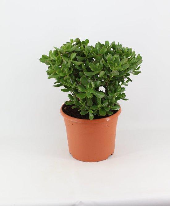 Crassula Ovata (pot 30cm)