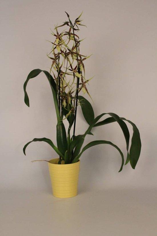 Orchideeën Brassia tessa 2 tak geel keramiek