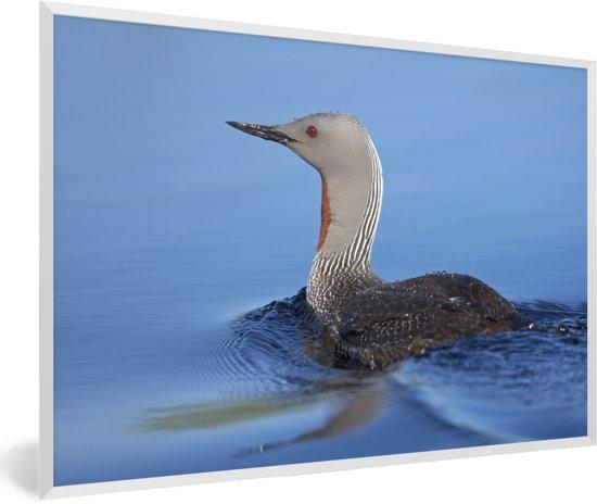 Foto in lijst - Red-throated duiker in het kalme duidelijke blauwe water fotolijst wit 60x40 cm - Poster in lijst (Wanddecoratie woonkamer / slaapkamer)