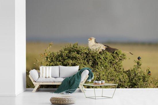 Fotobehang vinyl - Secretarisvogel bevindt zich in het struikgewas breedte 525 cm x hoogte 350 cm - Foto print op behang (in 7 formaten beschikbaar)