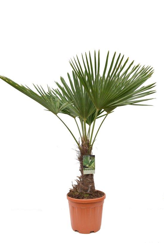 trachycarpus fortunei totale hoogte 140 160 cm stam 40 50 cm incl 31cm pot ch. Black Bedroom Furniture Sets. Home Design Ideas