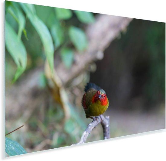 Kleurrijke timalia op een takje Plexiglas 60x40 cm - Foto print op Glas (Plexiglas wanddecoratie)