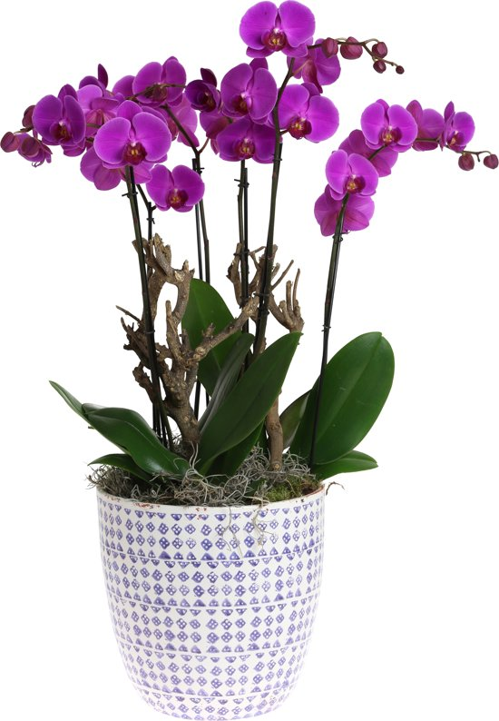 Orchidee creatie paars - Plain purple