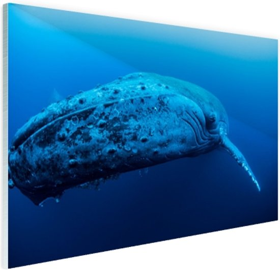 Jonge baleinwalvis onder water Glas 90x60 cm - Foto print op Glas (Plexiglas wanddecoratie)