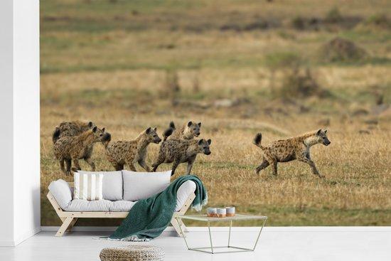Fotobehang vinyl - Groepje Hyena's op de jacht in Afrika breedte 625 cm x hoogte 400 cm - Foto print op behang (in 7 formaten beschikbaar)