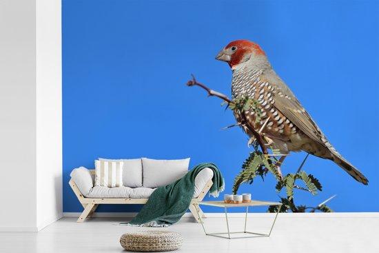 Fotobehang vinyl - De kleurrijke roodkopamadine in de top van een boom breedte 390 cm x hoogte 260 cm - Foto print op behang (in 7 formaten beschikbaar)