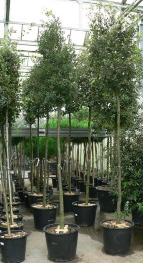 Boom In Pot.Bol Com Quercus Ilex Steeneik Boom Stamomtrek 8 10 Cm Pot