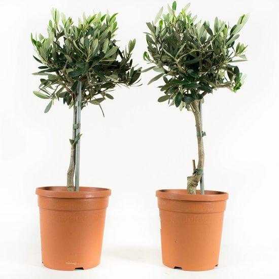 2 stuks olijfboom
