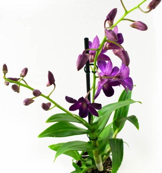 Orchideeën van Botanicly | 2 × Bamboe orchidee paars | Hoogte: 55 cm  | Dendrobium Sa-Nook