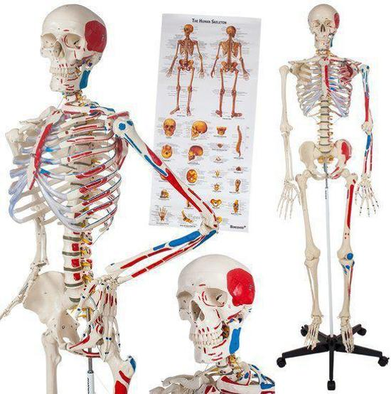 skelet model 180cm anatomie poster spiermarking 400963 speelgoed. Black Bedroom Furniture Sets. Home Design Ideas