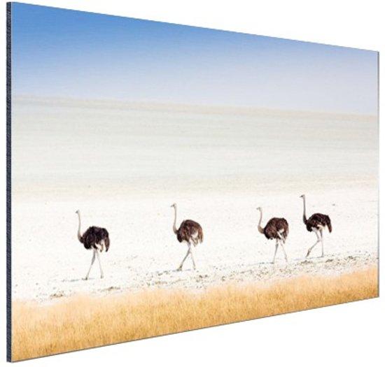 Struisvogels in de natuur foto Aluminium 90x60 cm - Foto print op Aluminium (metaal wanddecoratie)