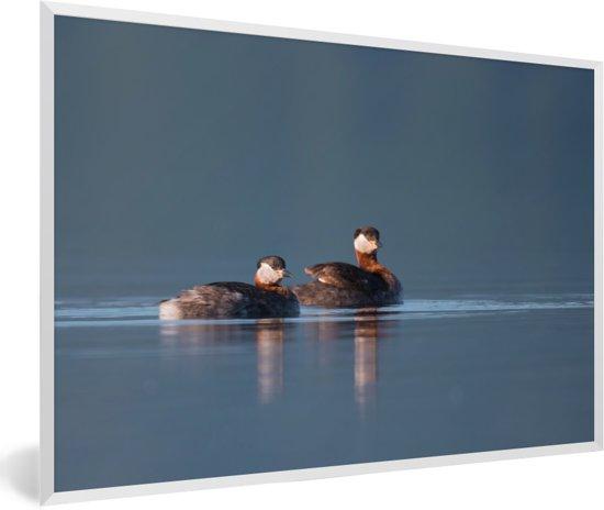 Foto in lijst - Roodhalsfuten  in het kalme water fotolijst wit 60x40 cm - Poster in lijst (Wanddecoratie woonkamer / slaapkamer)