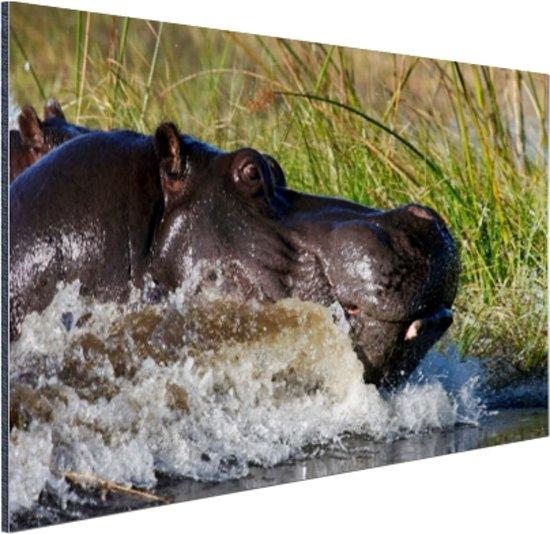Nijlpaard richting het droge Aluminium 90x60 cm - Foto print op Aluminium (metaal wanddecoratie)