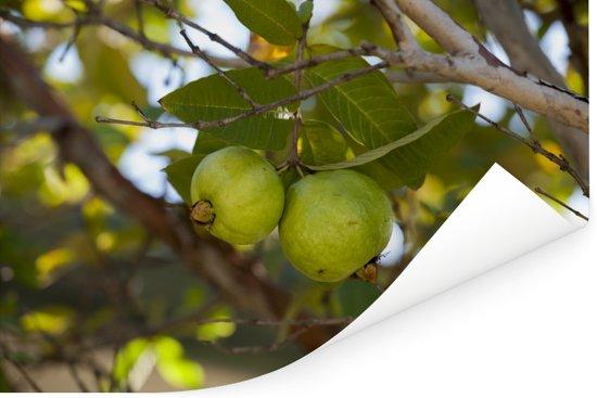 Close-up van guaveboom en de guave vruchten Poster 60x40 cm - Foto print op Poster (wanddecoratie woonkamer / slaapkamer)