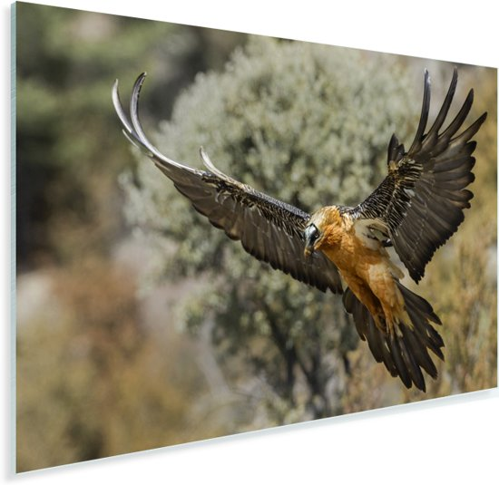 Lammergier met uitgestrekte vleugels Plexiglas 30x20 cm - klein - Foto print op Glas (Plexiglas wanddecoratie)