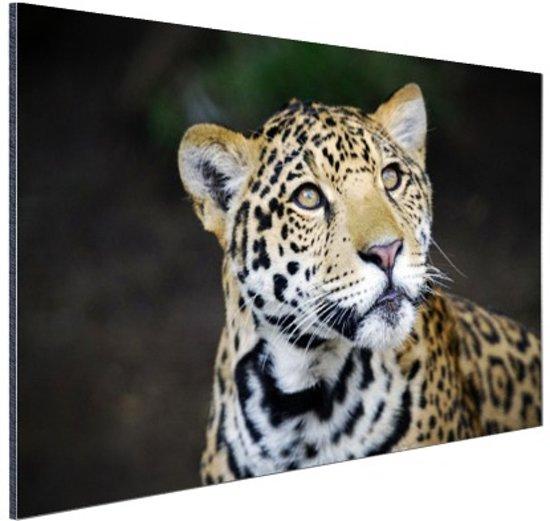 Nieuwsgierige luipaard foto Aluminium 120x80 cm - Foto print op Aluminium (metaal wanddecoratie)