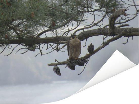 Een slechtvalk kijkt uit vanaf een boomtak Poster 80x60 cm - Foto print op Poster (wanddecoratie woonkamer / slaapkamer)