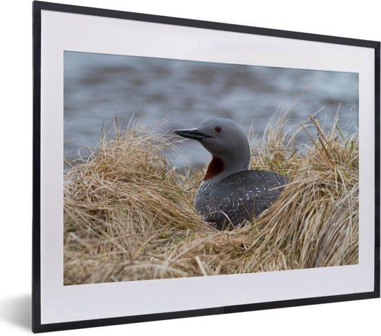 Foto in lijst - Red-throated duiker op haar nest fotolijst zwart met witte passe-partout klein 40x30 cm - Poster in lijst (Wanddecoratie woonkamer / slaapkamer)