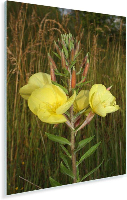 Een gele teunisplant in de natuur Plexiglas 40x60 cm - Foto print op Glas (Plexiglas wanddecoratie)