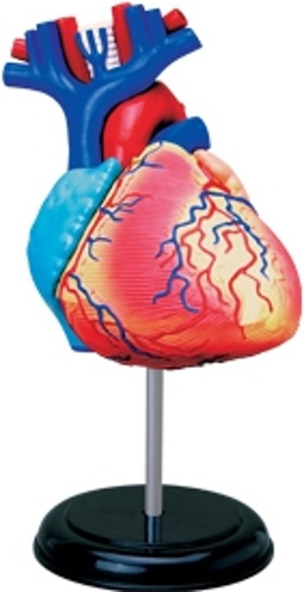 bol.com   Heart Anatomy 4D, 4M, 4M   Speelgoed