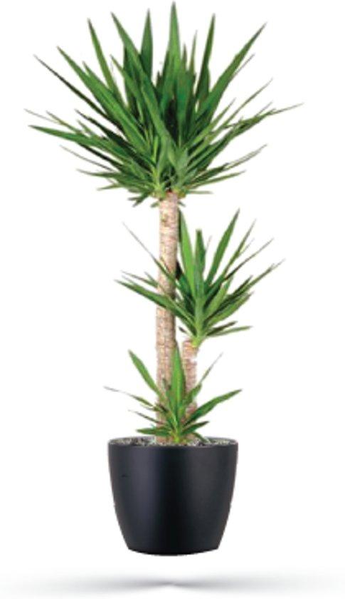 Bolcom Kamerplant Yucca 135cm