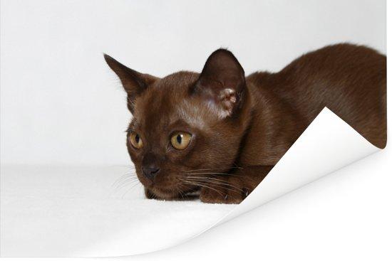 Schattige 10 weken oude Burmese kat Poster 60x40 cm - Foto print op Poster (wanddecoratie woonkamer / slaapkamer) / Huisdieren Poster