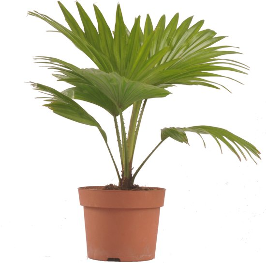 Waaier palm (Livistona) - plant is 40 cm hoog
