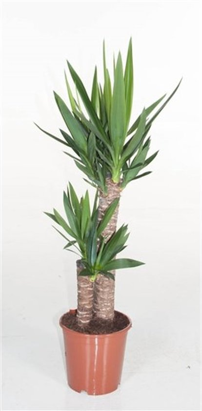 Kamerplant Hoge Pot.Yucca Kamerplant 80 Cm Pot O 17 Cm