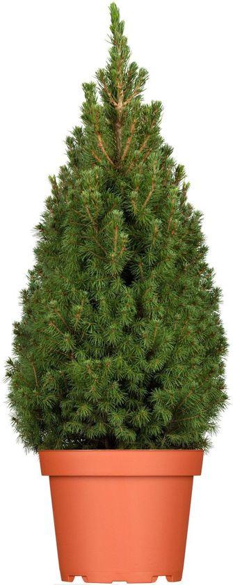 Picea Echte Kerstboom Ca. 100cm met lichtjes