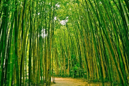 Papermoon Bamboe Bos Vlies Fotobehang 350x260cm