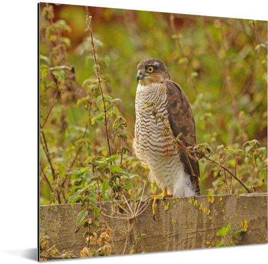 Sperwer zit op een hek tussen het struikgewas Aluminium 40x30 cm - klein - Foto print op Aluminium (metaal wanddecoratie)