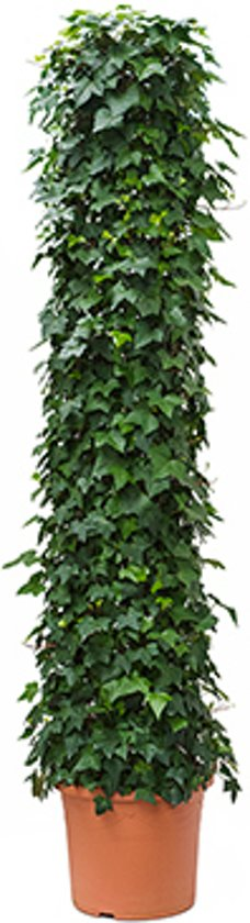 Klimop (Hedera helix) - plant is 2.50 m hoog