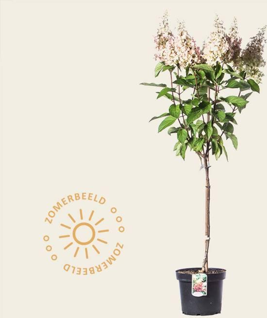 Hydrangea paniculata 'Pinky Winky' - 60/80 cm stam