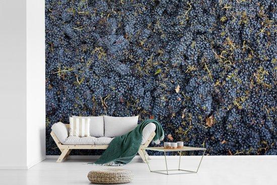 Fotobehang vinyl - Vers geoogste Sangiovese paarse druiven breedte 600 cm x hoogte 400 cm - Foto print op behang (in 7 formaten beschikbaar)