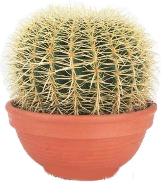 Cactus Echinocactus Grusoni (schoonmoederstoel) extra, 30 CM hoog, 35 CM potdiameter