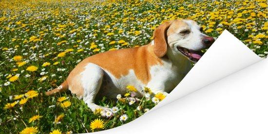 Beagle die tussen de gele bloemen ligt Poster 40x20 cm - Foto print op Poster (wanddecoratie woonkamer / slaapkamer) / Huisdieren Poster
