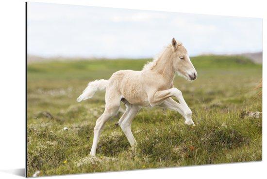 Wit veulen galoppeert in het groene gras Aluminium 180x120 cm - Foto print op Aluminium (metaal wanddecoratie) XXL / Groot formaat!