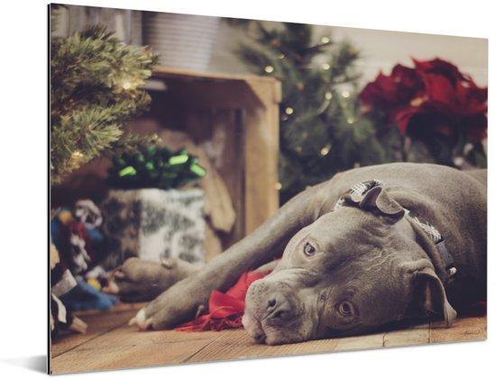 Een Amerikaanse buldog ligt voor de kerstboom Aluminium 160x120 cm - Foto print op Aluminium (metaal wanddecoratie) XXL / Groot formaat!