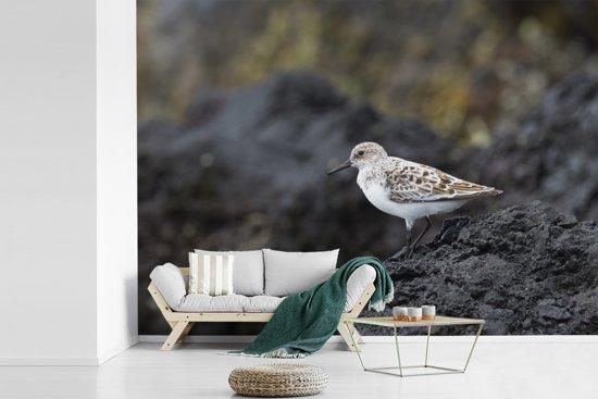 Fotobehang vinyl - Steenloper bevindt zich op de kust breedte 360 cm x hoogte 260 cm - Foto print op behang (in 7 formaten beschikbaar)