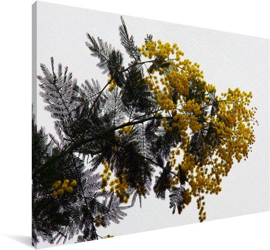 Close up de mooie gele en groene kleuren van de exotische acacia Canvas 180x120 cm - Foto print op Canvas schilderij (Wanddecoratie woonkamer / slaapkamer) XXL / Groot formaat!