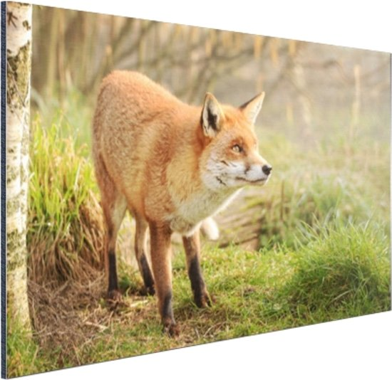 Nieuwsgierige vos Aluminium 180x120 cm - Foto print op Aluminium (metaal wanddecoratie) XXL / Groot formaat!