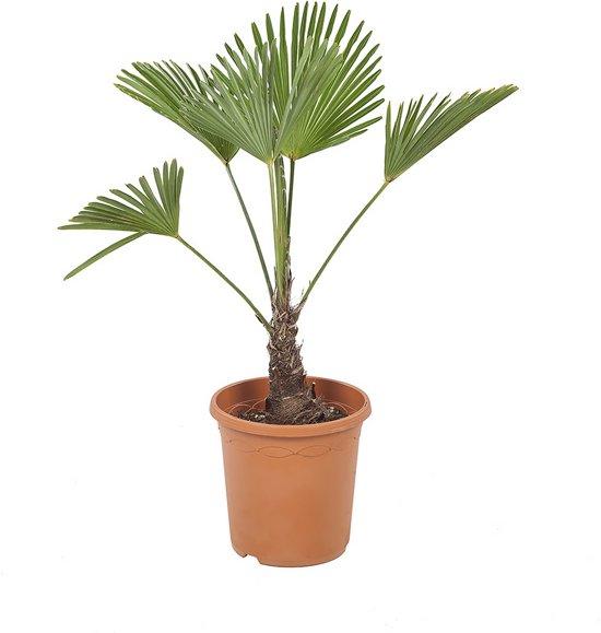 Kamerboom van Botanicly   Chinese Waaierpalm   Hoogte: 80 cm    Trachycarpus Wagneriana