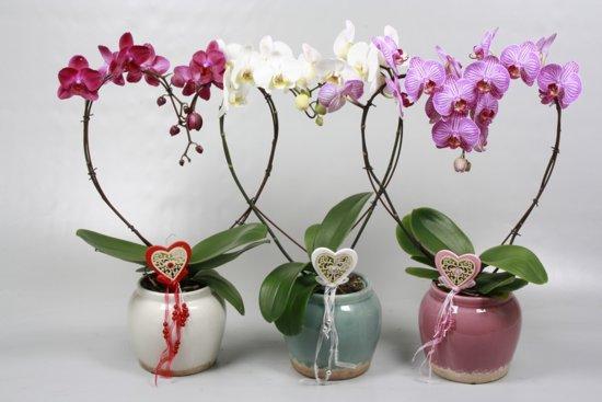 kamerplant huiskamer orchidee phalaenopsis vlinderorchidee pot 13 cm 2 b. Black Bedroom Furniture Sets. Home Design Ideas